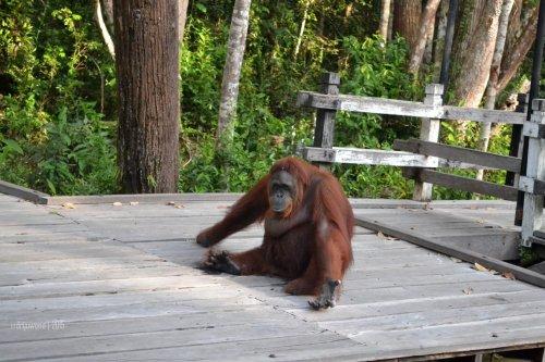 33-tanjungputing-camp-leakey-orangutan-siswi-goodbye