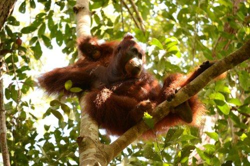 7-tanjungputing-camp-leakey-orangutan