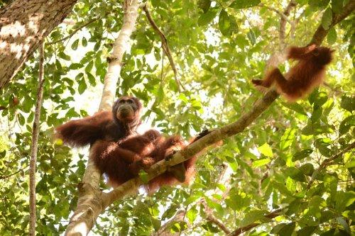 8-tanjungputing-camp-leakey-orangutan