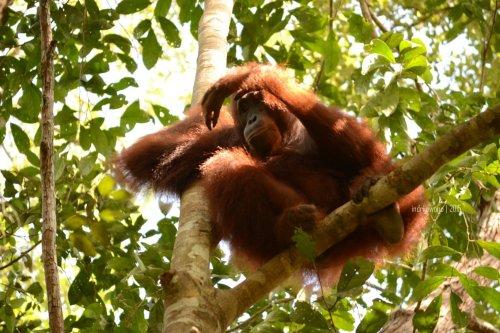9-tanjungputing-camp-leakey-orangutan