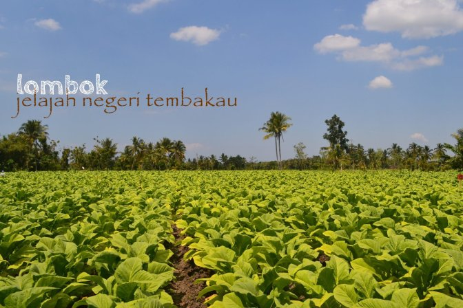 hamparan hijau tembakau lombok