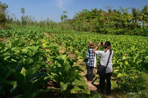 tanaman tembakau yang masih muda (in frame : wira dan atre)