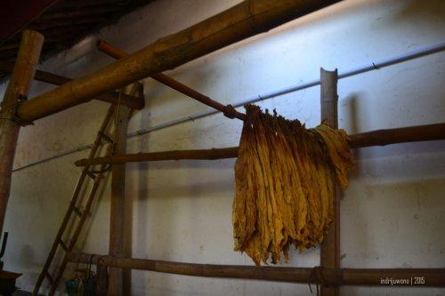daun tembakau kering yang di-gelantang