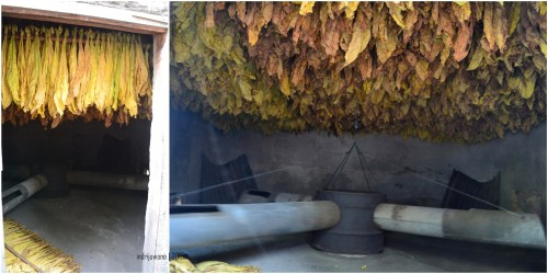 daun tembakau yang disusun di dalam oven. panas dialirkan dalam pipa yang berputar di dalam oven menciptakan hawa panas