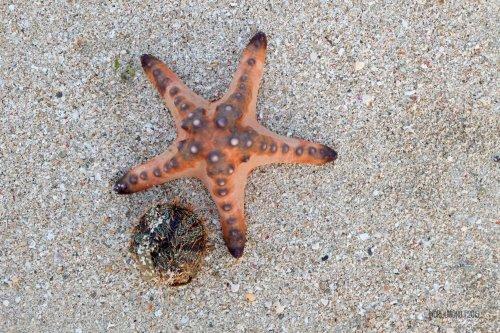 33-south-lombok-gili-pasir-star-fish