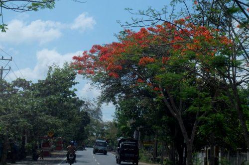 flamboyan-lombok-3