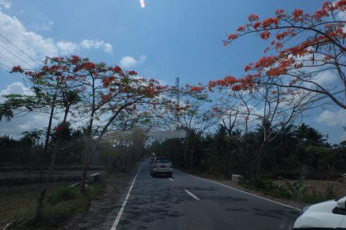 flamboyan-lombok-6