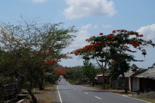 flamboyan-lombok-7