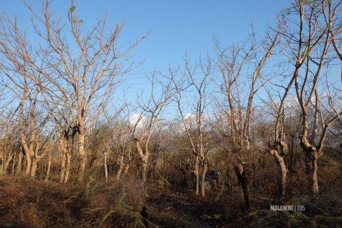 7-1-kupang-pohon-kering