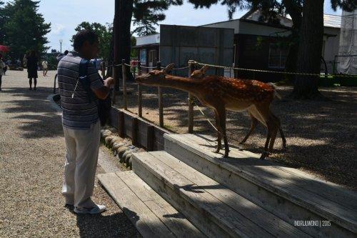 16-nara-japan-deer-park
