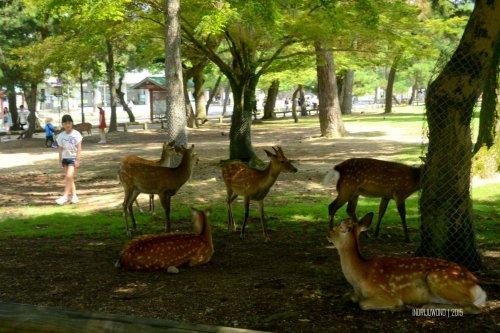 17-nara-japan-deer-park