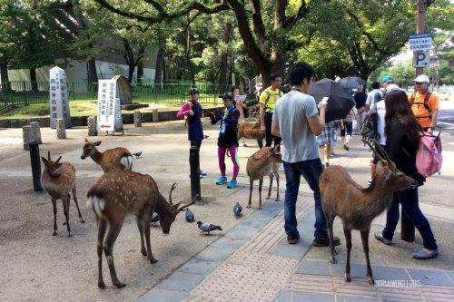 18-nara-japan-deer-park