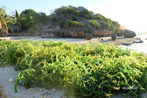 rote-6-rumput-laut
