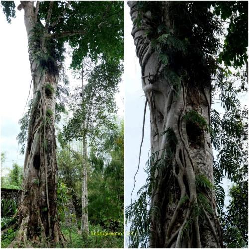 baby graves di atas pohon