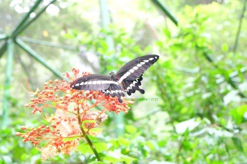 5-bantimurung-leang-leang-kupu-kupu