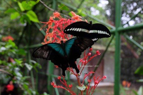 6-bantimurung-leang-leang-kupu-kupu