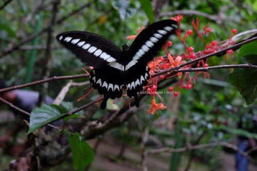 7-bantimurung-leang-leang-kupu-kupu